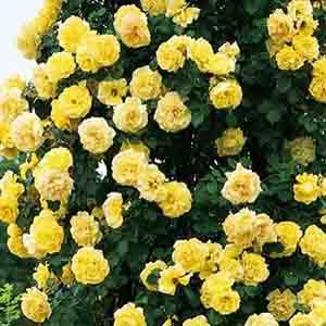 Паркові троянди